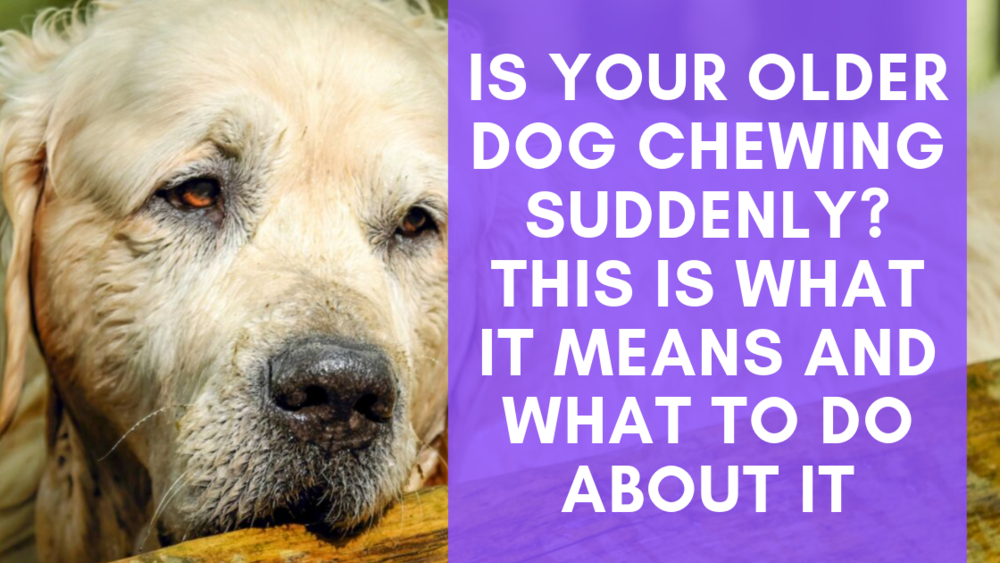 Is Your Older Dog Chewing Suddenly This Is What It Means And What To Do About It Older Dogs Dog Chews Dogs