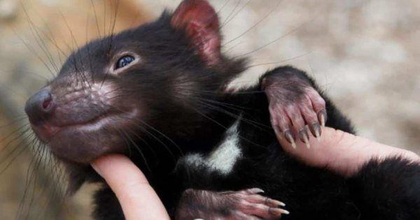 Descubren científicos demonios de Tasmania sano en Australia .... is ...