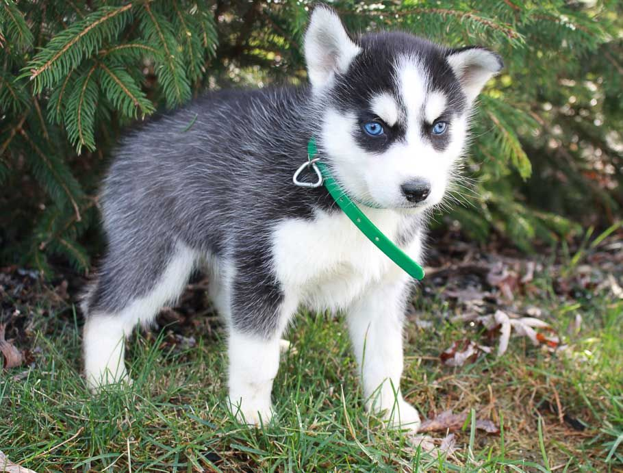 Gem Female Akc Siberian Husky Pupper For Sale In New Haven