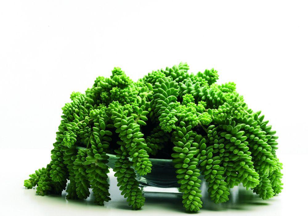 Sedum Morganianum Piante Da Interno Piante Giardinaggio