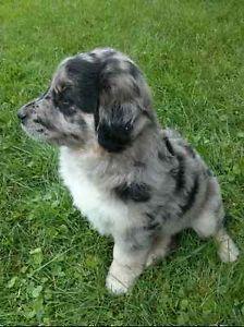Chiots Puppies Croises Berger Australien Golden A Vendre Granby
