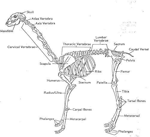 camelid skeleton