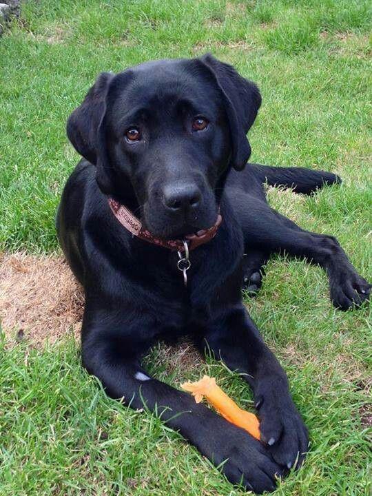 Beautiful Black Lab His Name Is Raven Black Lab Puppies Labrador Retriever Black Labrador Retriever
