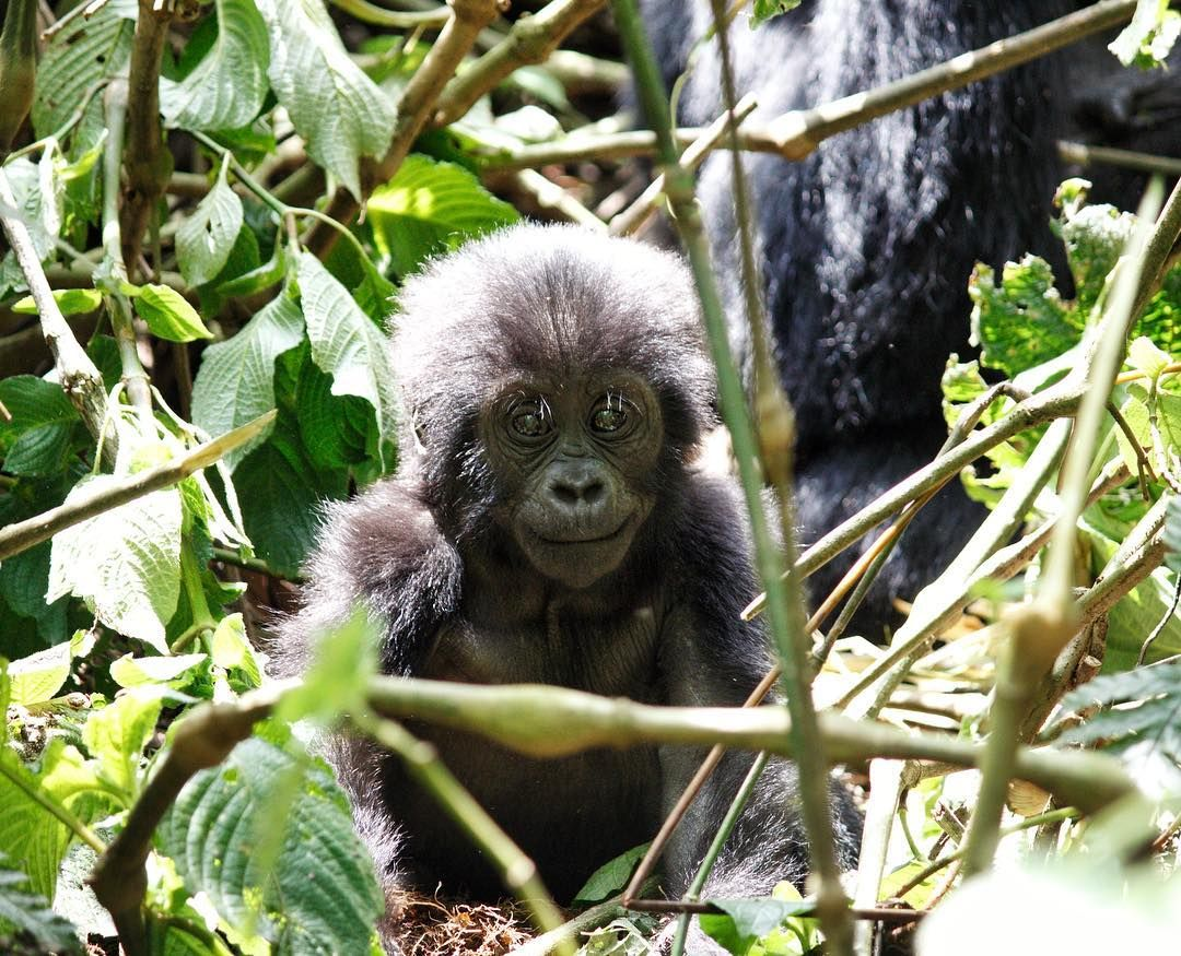 A 3 Days Gorilla Trekking Safari Bwindi is a short