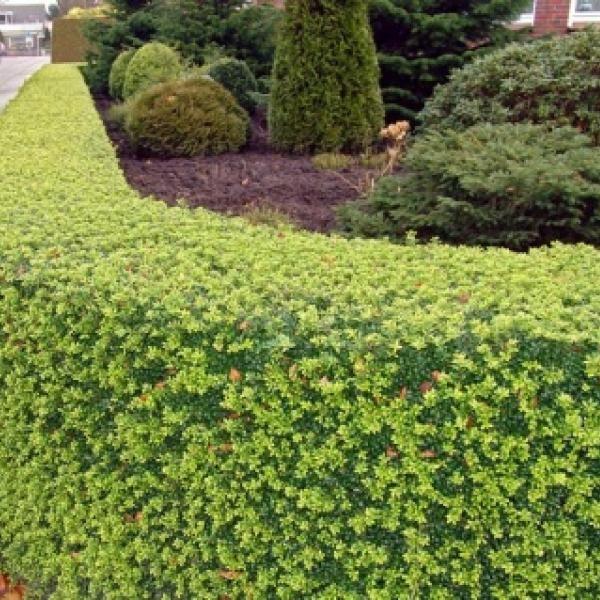 ilex crenata green hedge is mooier groen dan convexa deze kunnen gaten in de haag laten. Black Bedroom Furniture Sets. Home Design Ideas
