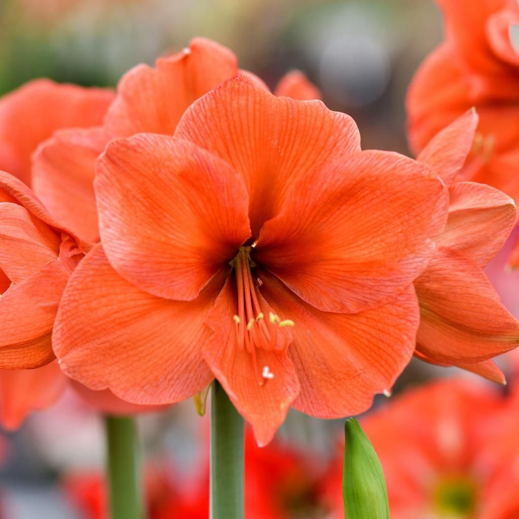 Amaryllis Desire Amaryllis, Easy to grow bulbs