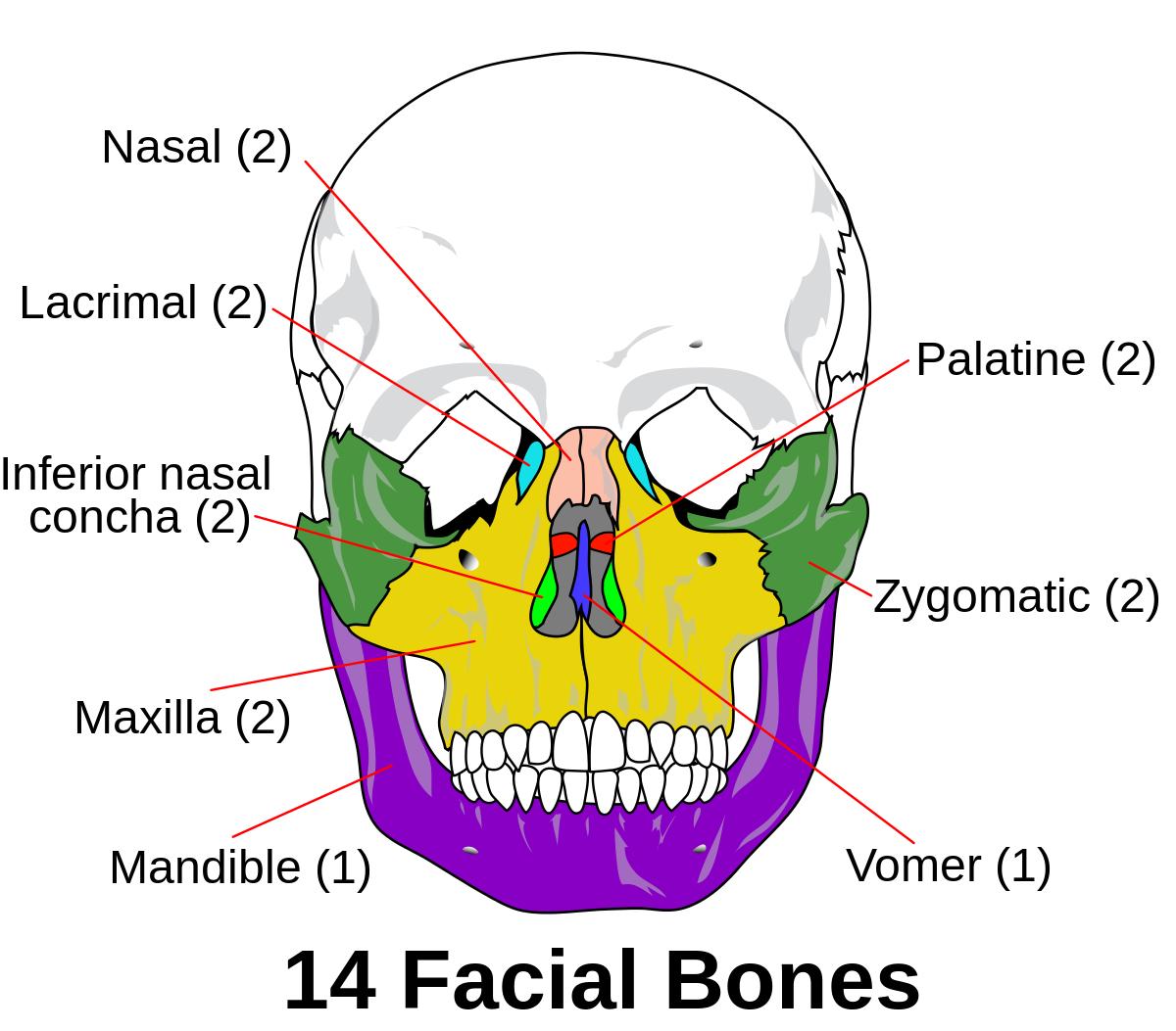 Facial skeleton - Wikipedia | Health | Pinterest | Gesundheit