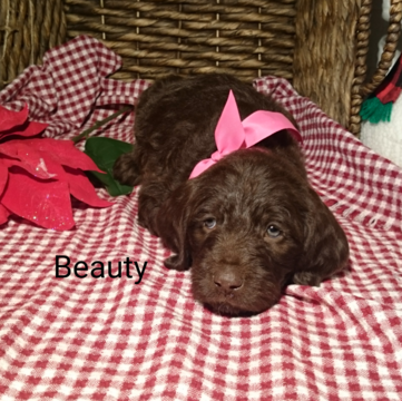 German Shorthaired Pointer Poodle Standard Mix Puppy For Sale In Sugarcreek Oh Adn 57918 On Pup Puppies For Sale Standard Poodle German Shorthaired Pointer