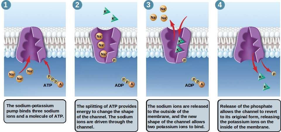 Sodium Potassium Pump Anatomy Physiology 1 Pinterest Sodium