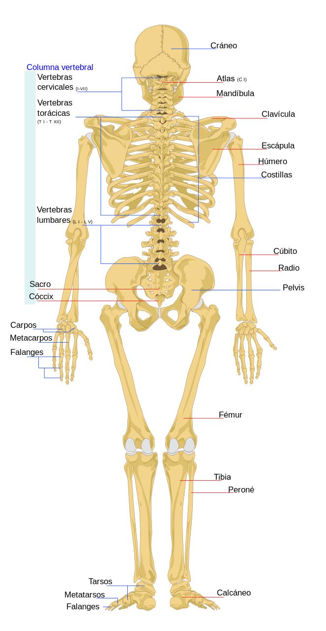 Esqueleto humano - Wikipedia, la enciclopedia libre | estudy ...