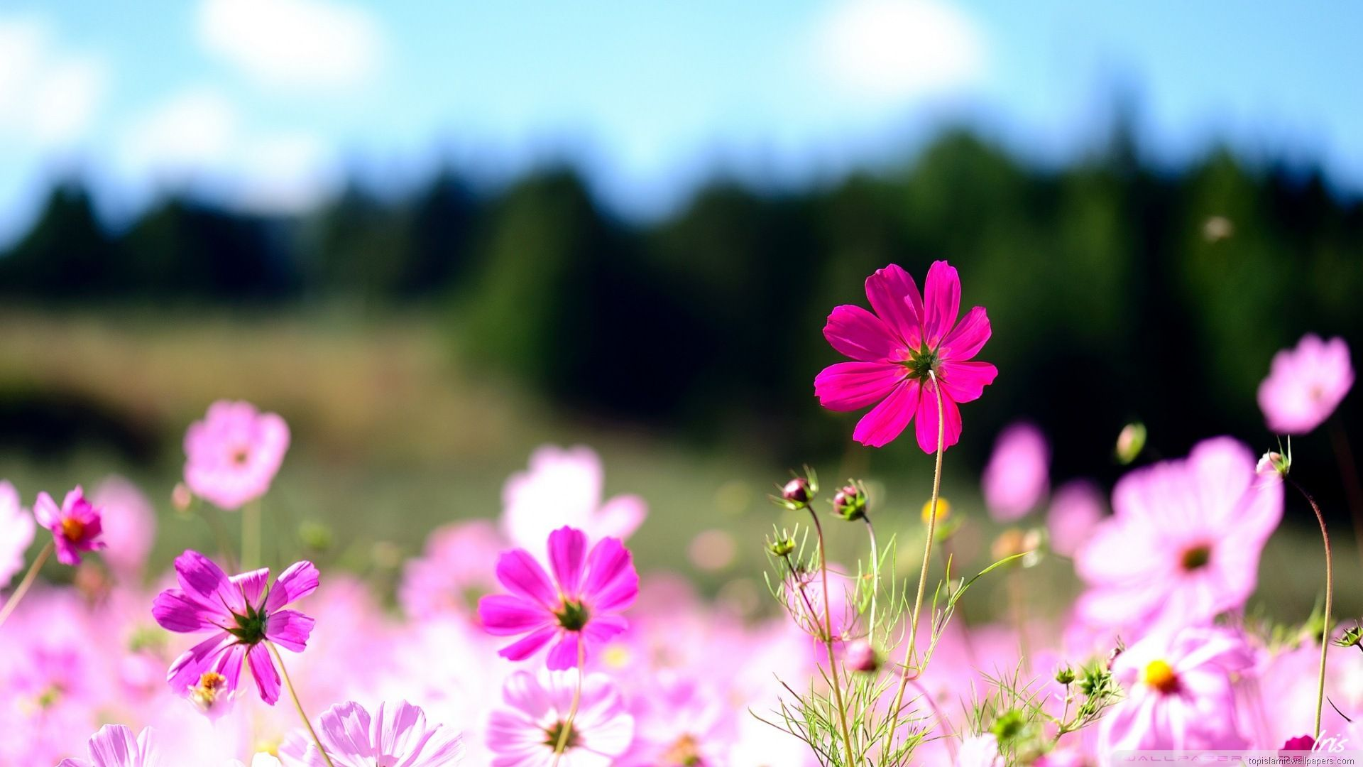 Nice Pink Flowers With Landscape In Background
