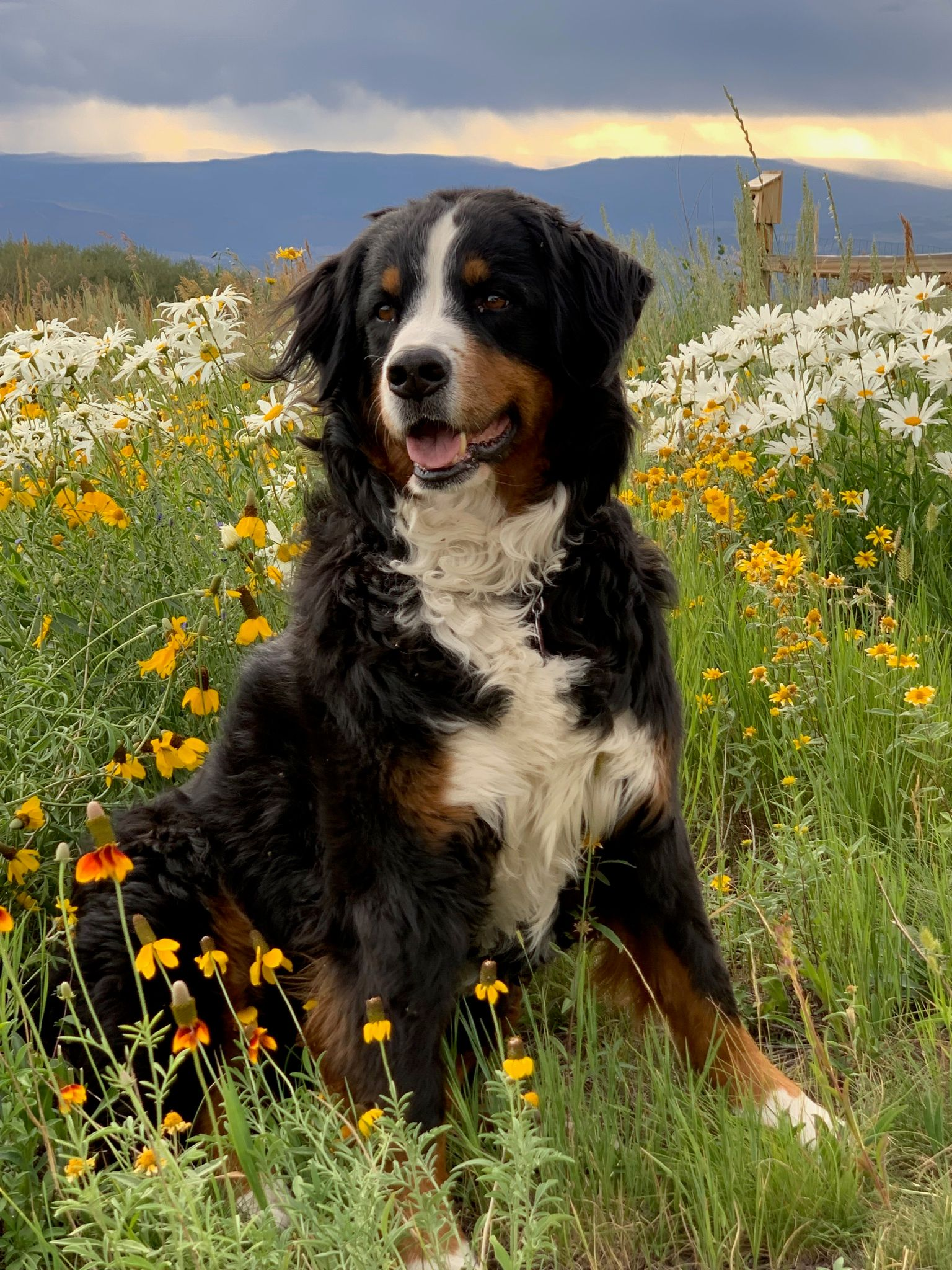 Pin By Michie Jaay On Bernese Dogs Bernese Mountain Dog Mountain Dogs Bernese Mountain