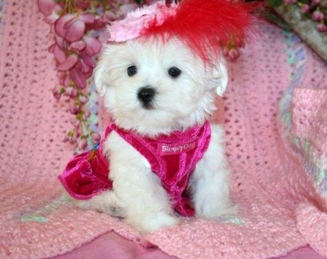 Teacup Maltese Puppy For Sale In Chicago Illinois Teacup Puppies
