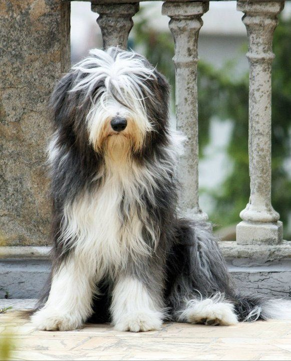 Bearded Collie Scotland Creatures Dogs And