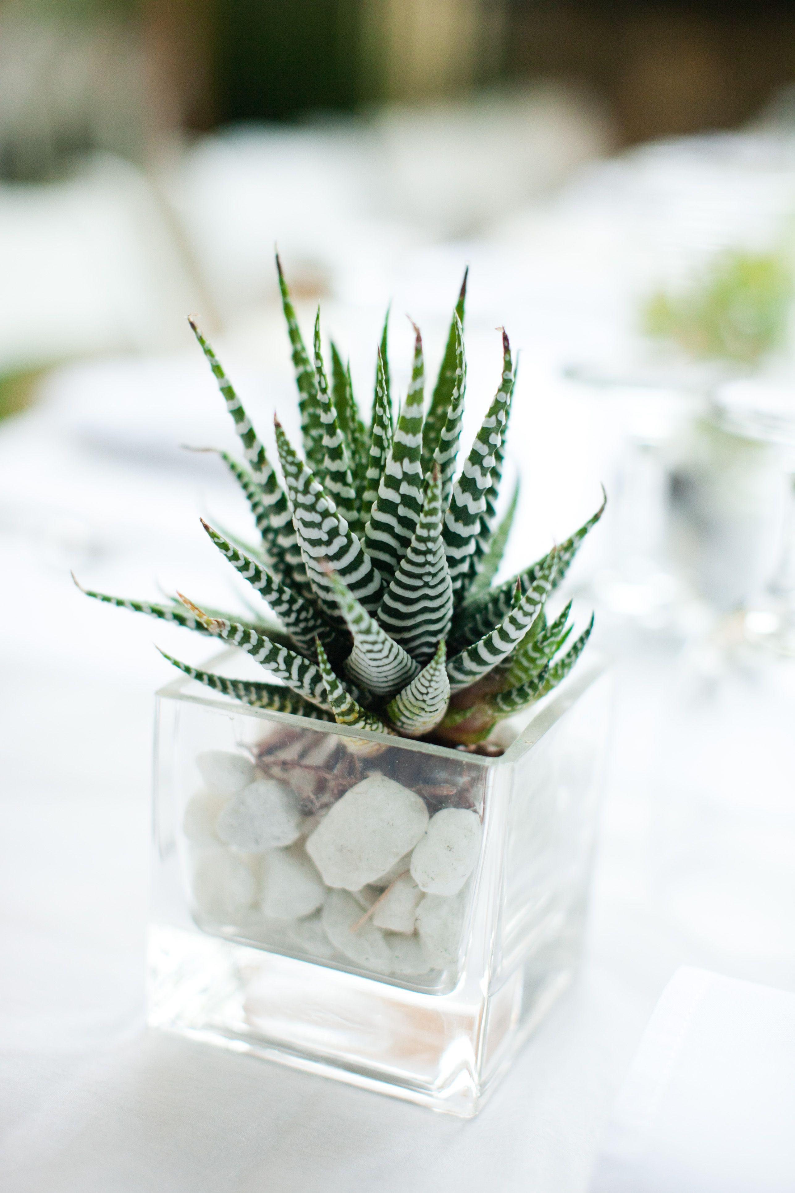 Zebra Succulent As A Pretty Wedding Centerpiece