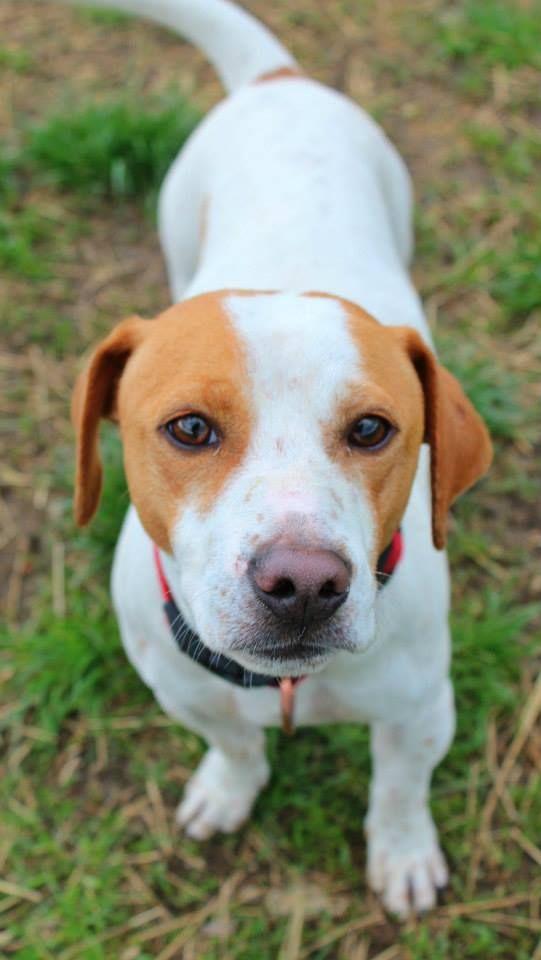 Adopt Kennel 38 On Beagle Dog Adoptable Beagle Beagle Puppy