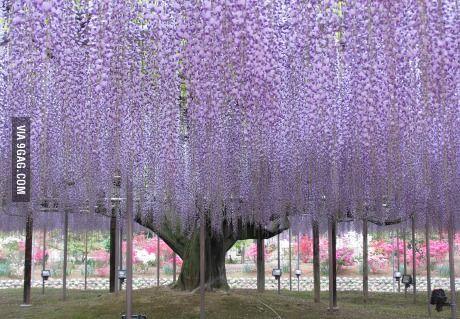 Giant Wisteria In Japan S Ashikaga Flower Park Japan Flower Garden Wisteria Tree Wisteria