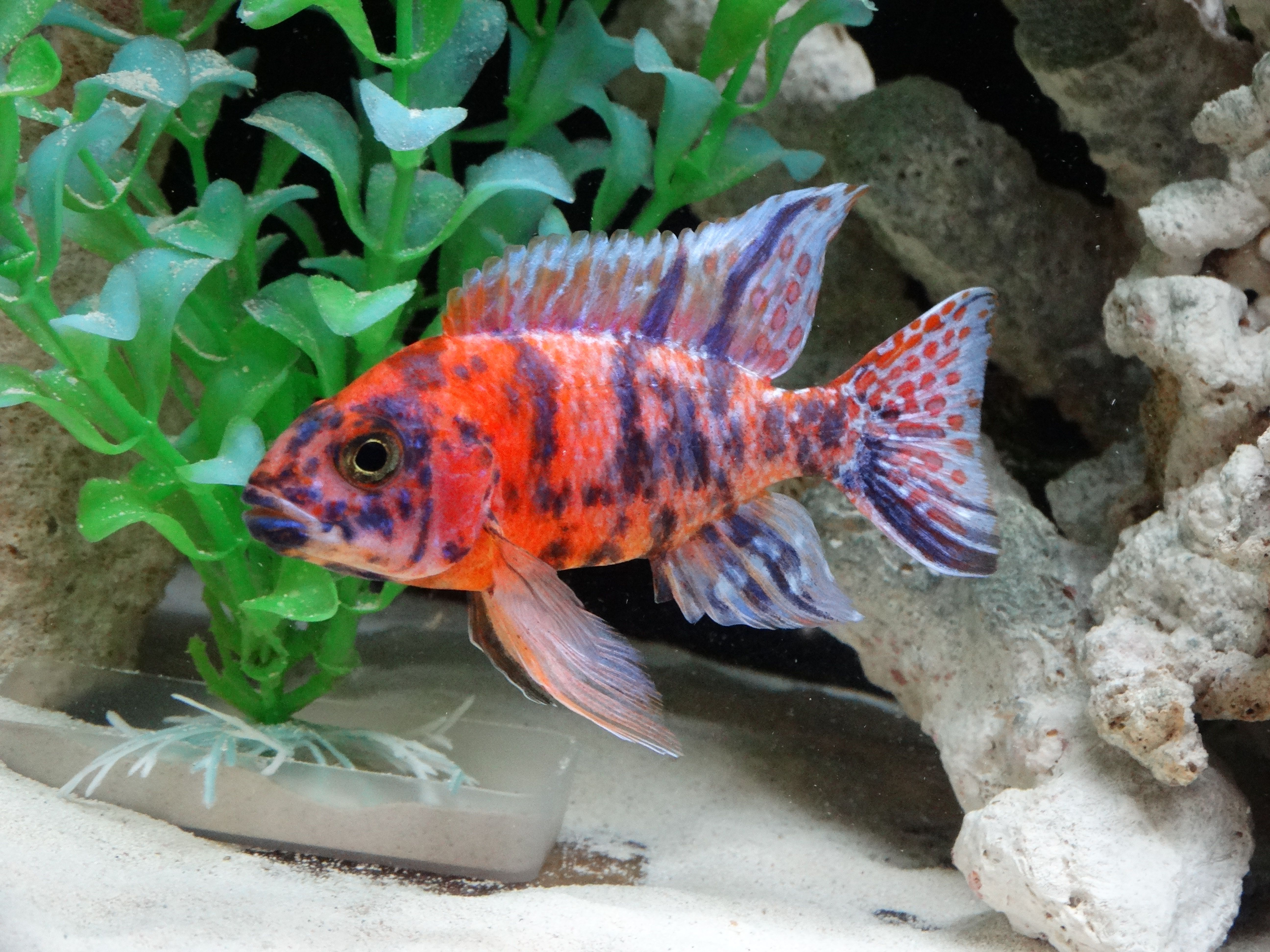 my fish african cichlid | tropical fish plants and designscape ...