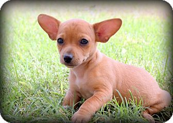Red Chiwawa Mix Chihuahua Dachshund Mix Puppy For Sale In