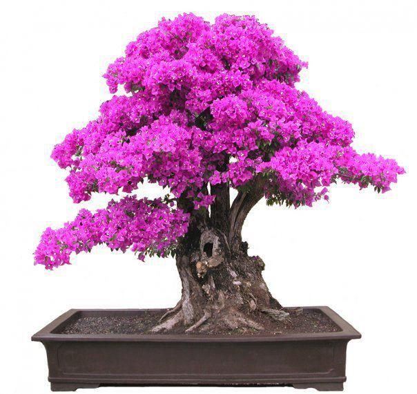 bonsai de flores