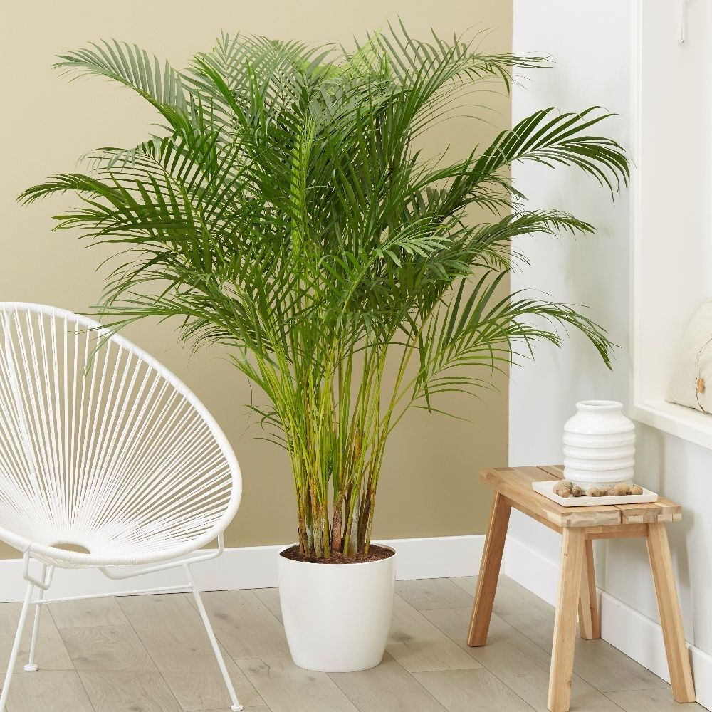Dypsis lutescens - areca palm / bamboo palm | Large indoor ...