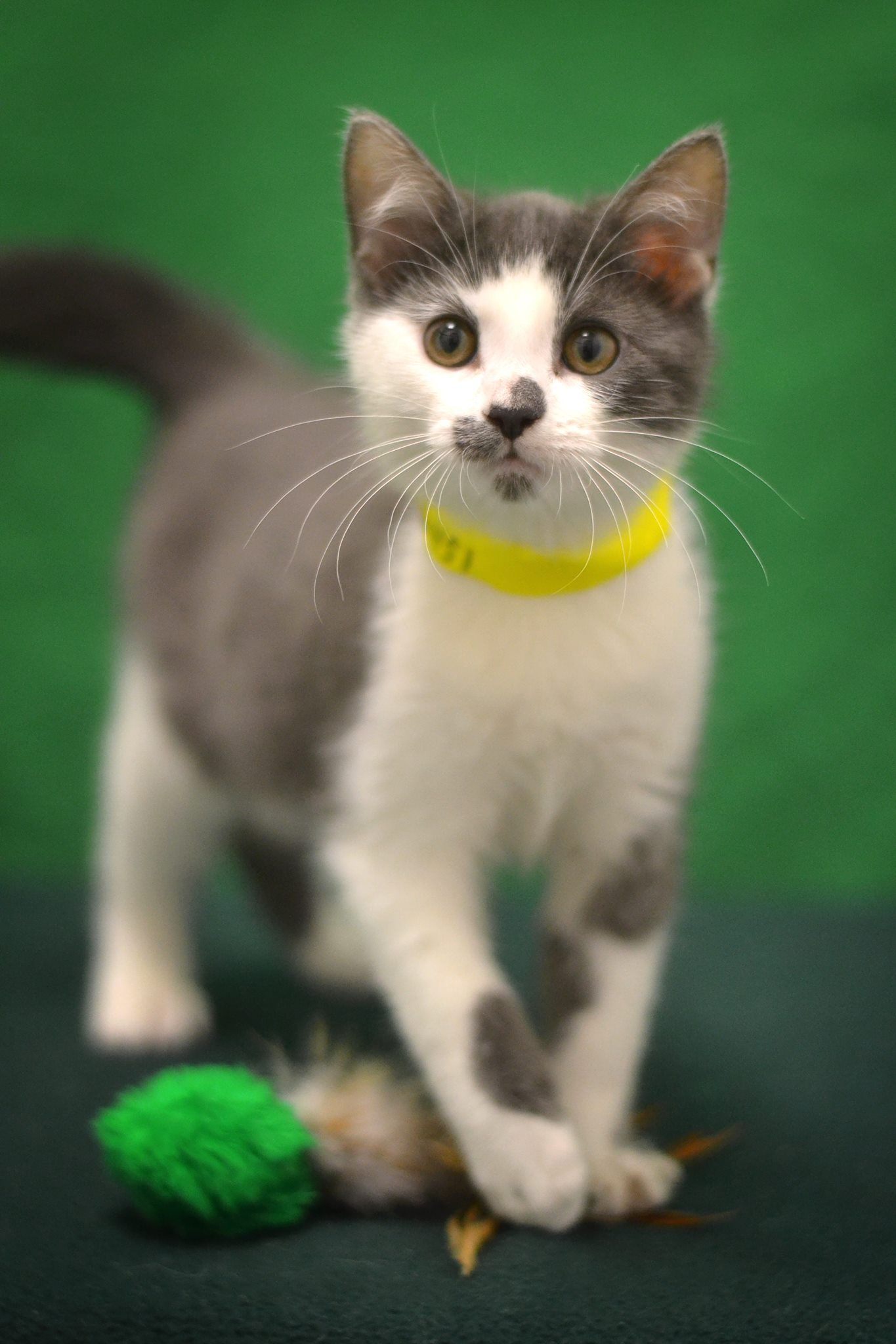 Sheila Is An Adoptable Kitten At Sangamon County Animal Control In Springfield Il Dog