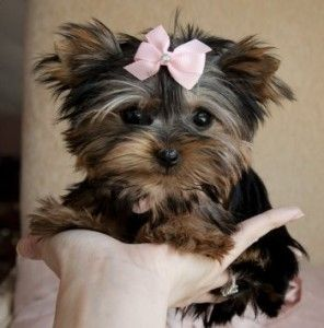 Tea Cup Yorkie Puppies She Fits In The Palm Of Your Hand