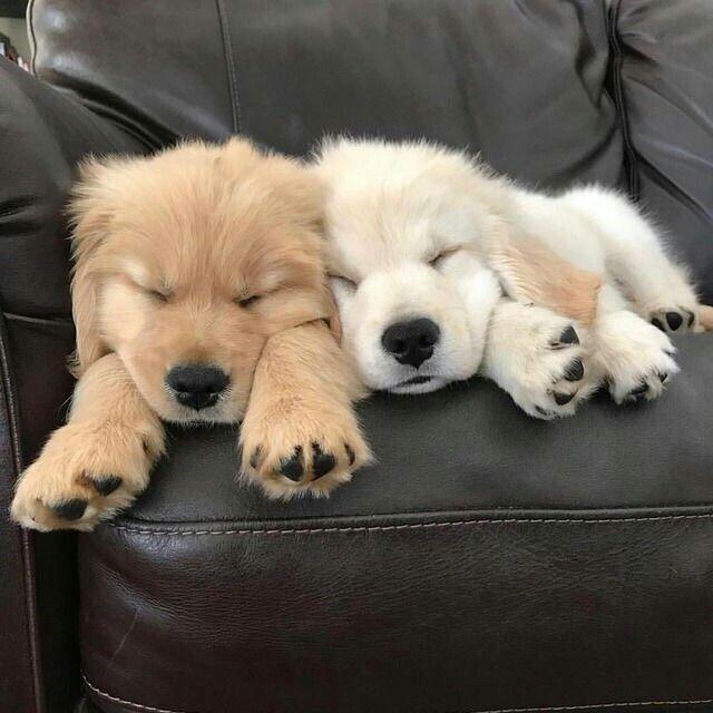 Photo of Golden retriever cachorro durmiendo en un sofá de cuero.