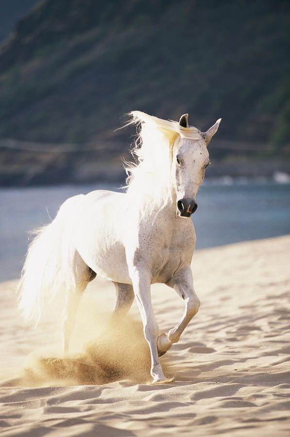 Horse photography - White horse on the beach. - photo by Vince Cavataio