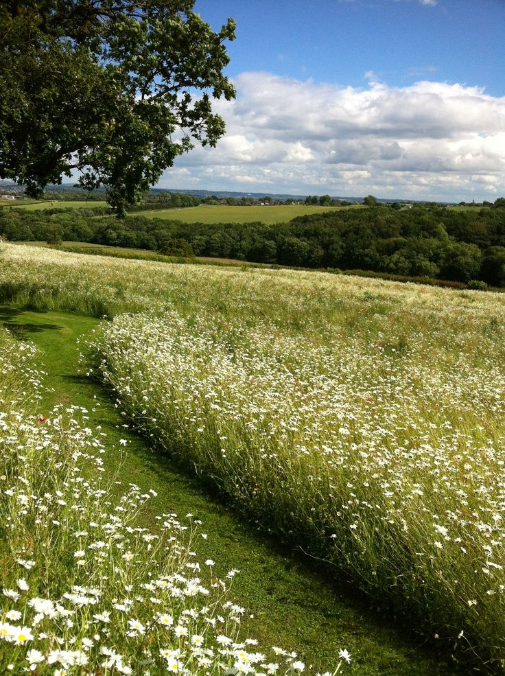 A cultivated field of wild flowers, near Barlow village