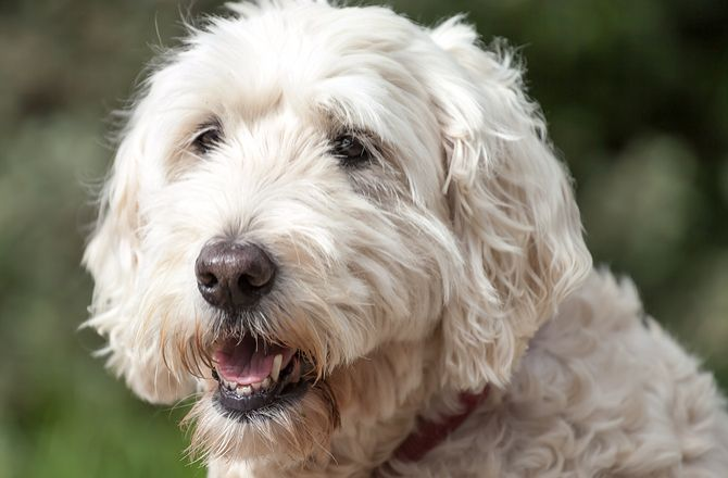 10 Dog Breeds For The Busy Family In 2020 Terrier Dog Breeds Dogs Soft Coated Wheaten Terrier