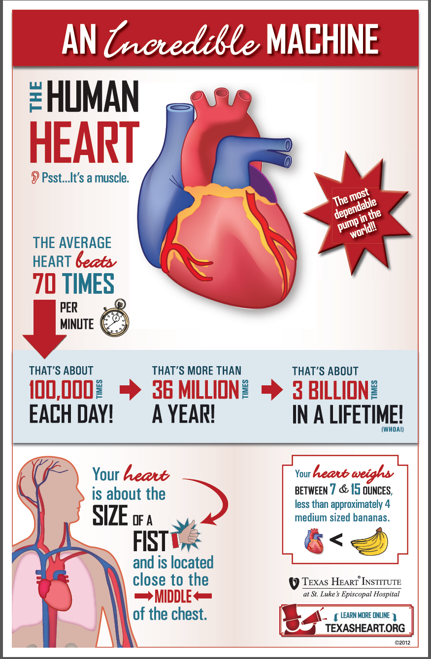 Human physiology fun facts about the human heart an incredible human physiology fun facts about the human heart an incredible machine ccuart Images
