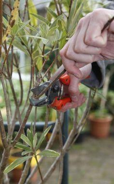Oleander #immergrünesträucher