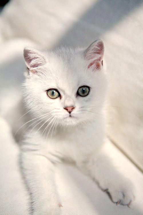 2c8cd17ba3c808 white kitten Vackra Katter