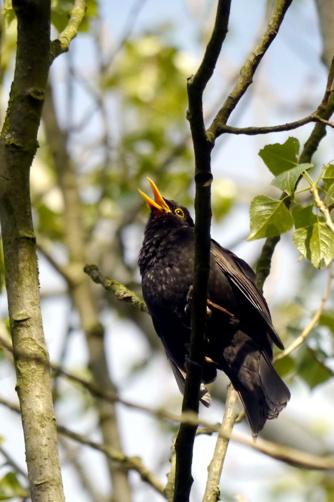 The Blackbird Was Singing This Morning In The Dawn Chorus He S