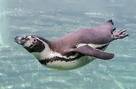 Pinguino Patagonico Nadando Buscar Con Google Especies De Pinguinos Animales Acuáticos Animales En Peligro De Extincion