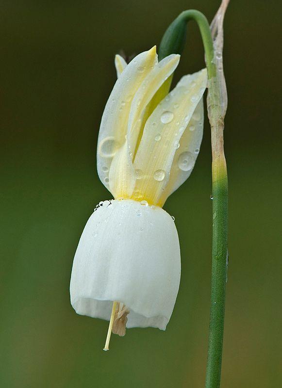 Narcissus triandrus