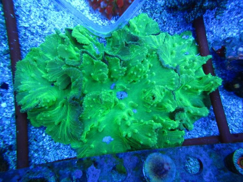 How To Frag Soft Coral Green Cabbage Leather Green Cabbage Soft Corals Cabbage
