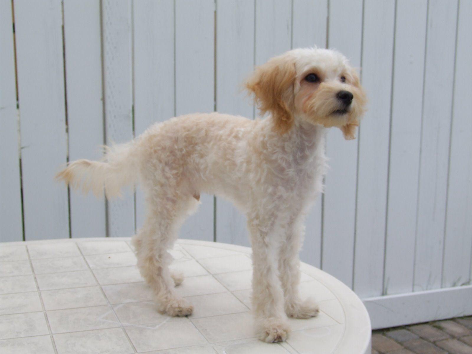 the 25+ best poodle haircut ideas on pinterest | poodles, poodle