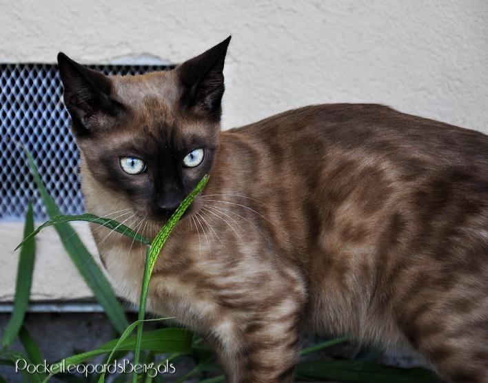 Bengal Siamese Mix Bengal Cat Cats Beautiful Cats