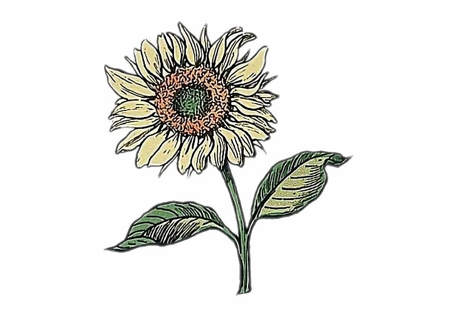 Aesthetic Sunflower Drawing Png Sunflower Drawing Flower Drawing Tumblr Daisy Drawing
