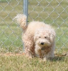 Peanut D11 Is An Adoptable Poodle Dog In Huntsville Al Posted
