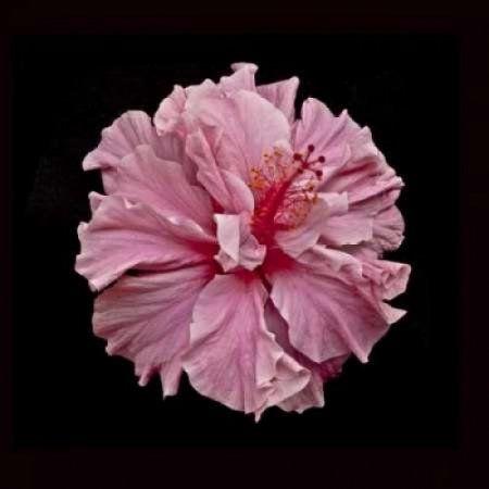 Pink Hibiscus Canvas Art - Lee Peterson (24 x 24) | Hibiscus ...