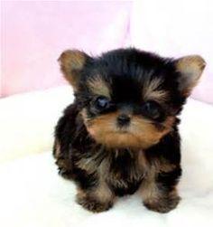 Free Female Teacup Yorkie Puppies For Adoption Boston Pt10135