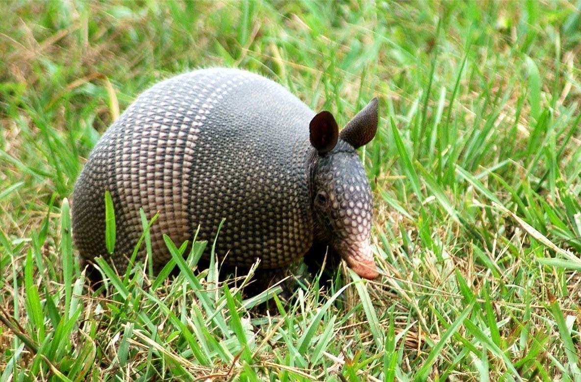 Amazing Facts About Armadillos