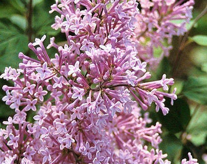 Dwarf Korean Lilac Syringa Meyeri Palibin 3 Potted Plants | Etsy