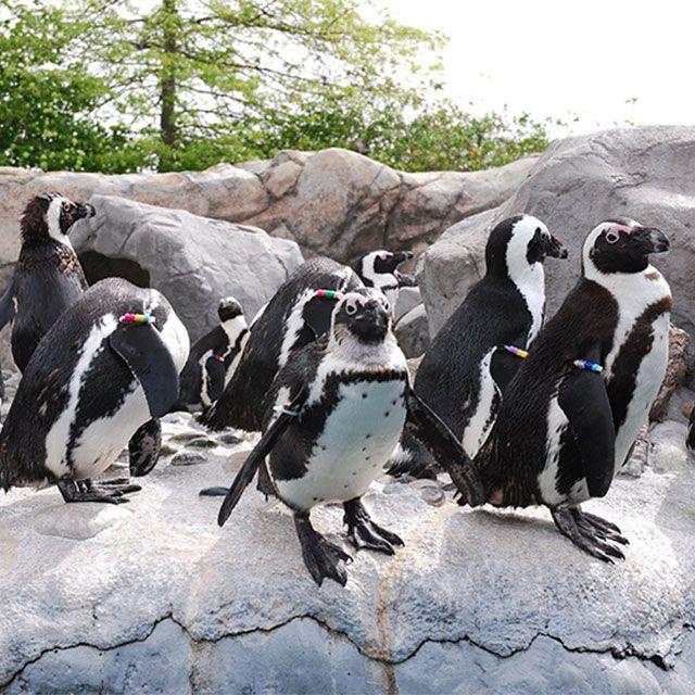 African Penguins at   African penguin, Mystic aquarium ...