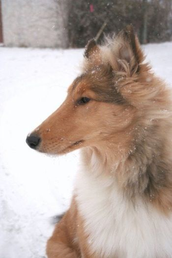 Rough Collie Puppy At 6 Months Old Our Disney Girl Just Turned 6 Months This Week And This Puppy Looks Just Like Collie Dog Rough Collie Dog Breeds Pictures