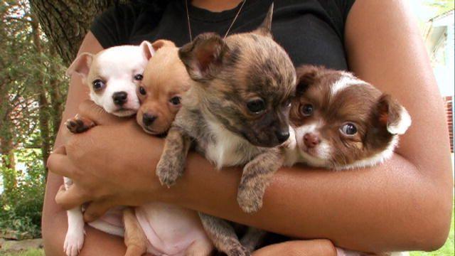 Chiweenie Dogs 101 Animal Planet Chiweenie Dogs Chiweenie
