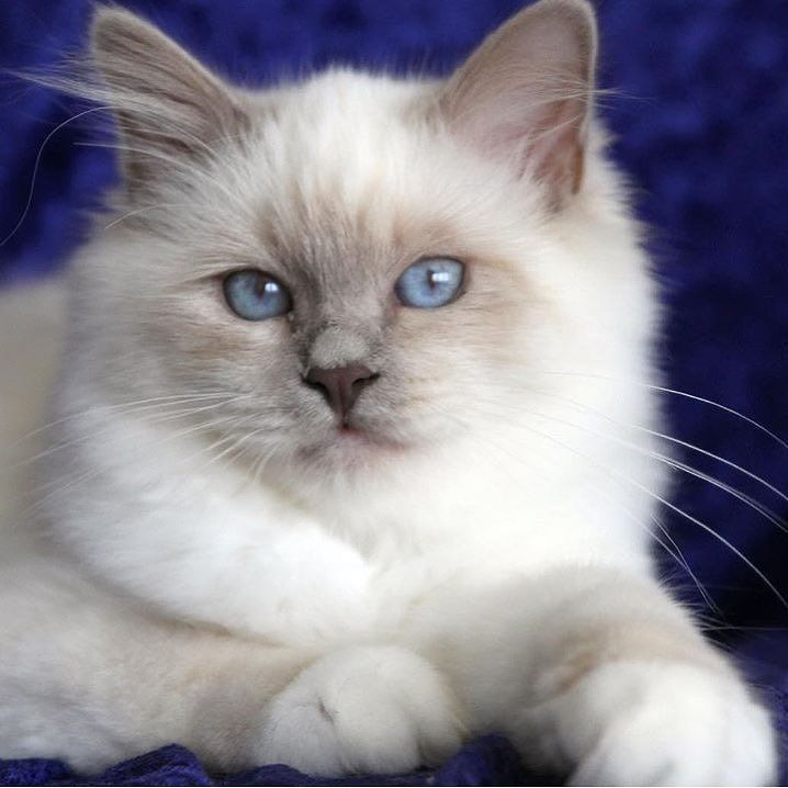 Beautiful Lilac Point Birman Birman Cat Cats Gorgeous Cats